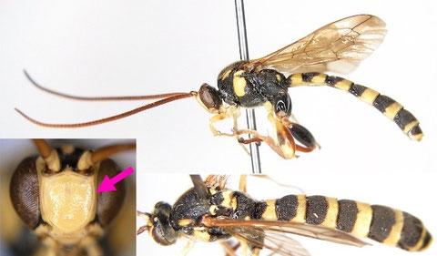 キオビコシブトヒメバチ Metopius (Metopius) browni Ashmead, 1905
