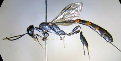 オオコンボウヤセバチ Gasteruption japonicum Cameron, 1888 (写っていないが、産卵管はもっと長い)