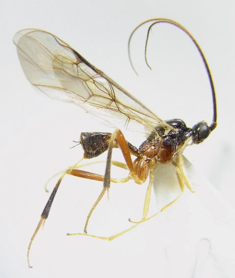 Homolobus rufiventralis Maeto,1982 ムネアカコンボウコマユバチ