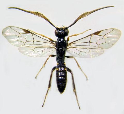 キモンフトマルヒメバチ Euceros sensibus Uchida, 1930 ♂