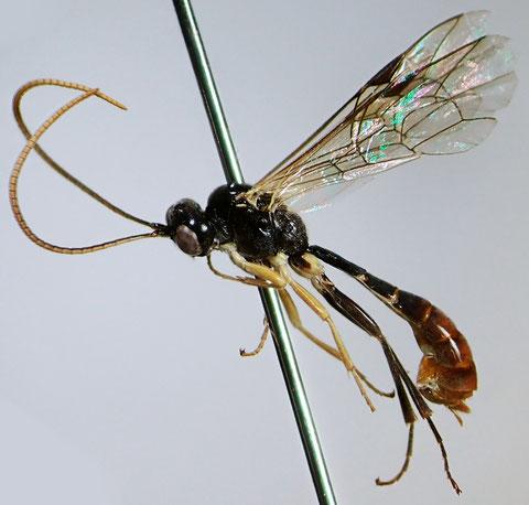 ヤクハバチヤドリヒメバチ Kristotomus yakui (Uchida, 1932)