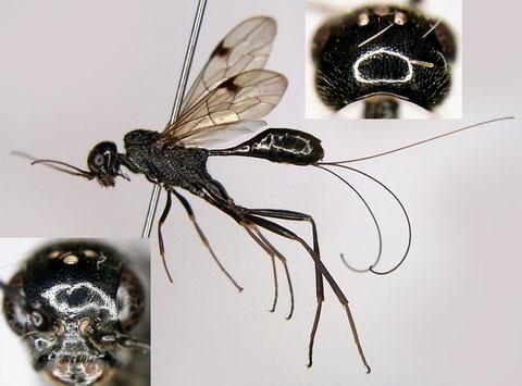 ホシセダカヤセバチ Pristaulacus intermedius Uchida, 1932