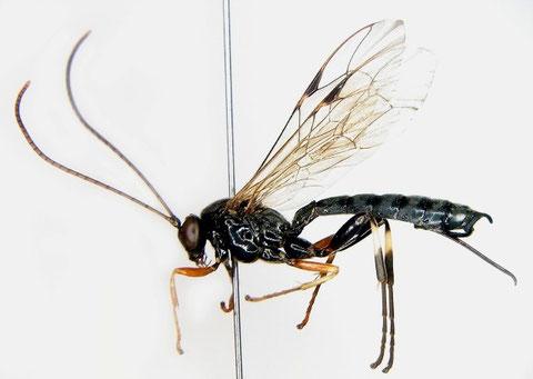 コキアシヒラタヒメバチ Apechthis capulifera (Kriechbaumer, 1887) ♀ (後脚黒化型)