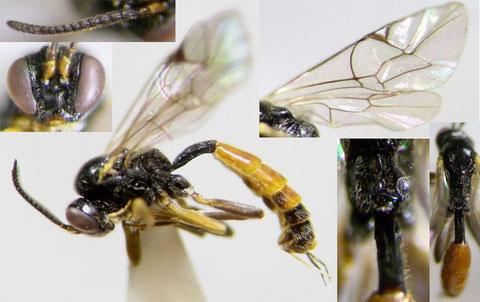 フトタマバチヤドリヒメバチ Orthopelma simile Kusigemari, 1974 ♀