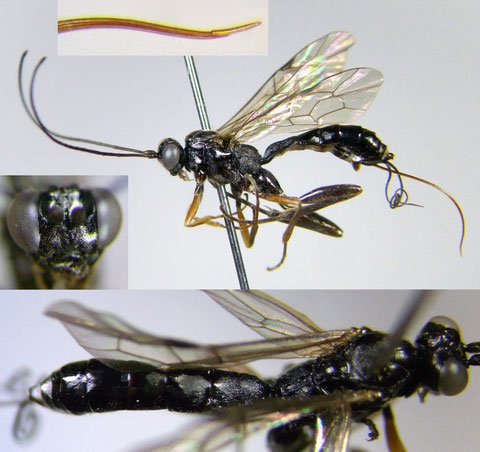 Cylloceria sp. A (female)