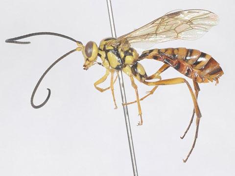 ナワトゲウスマルヒメバチ Banchus japonicus (Ashmead, 1906)