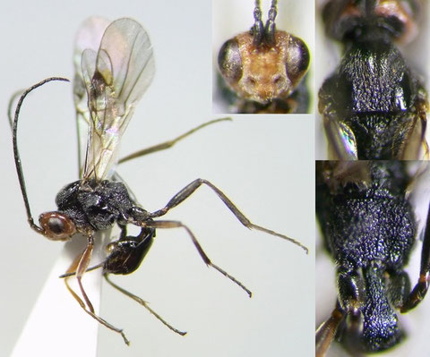 テントウハラボソコマユバチ Dinocampus coccinellae (Schrank, 1802)