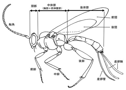 Glypta sp. (ウスマルヒメバチ亜科の一種) 翅脈等、幾つかの形質は省いて書いている