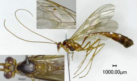 シコクホシアメバチ Enicospilus shikokuensis (Uchida, 1928)