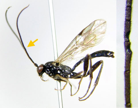Cylloceria sp. B (male) 矢印付近に三日月型の窪みをもつ