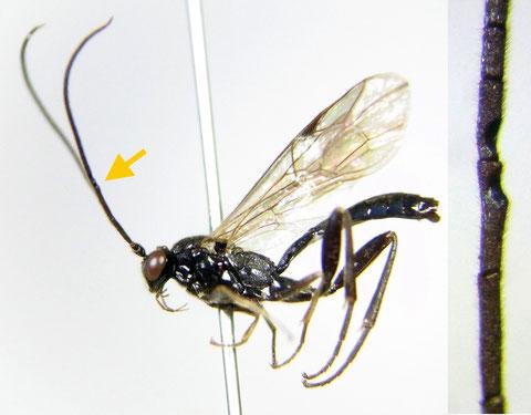 Cylloceria sp. B (male) 矢印付近に三日月型の窪みをもつ