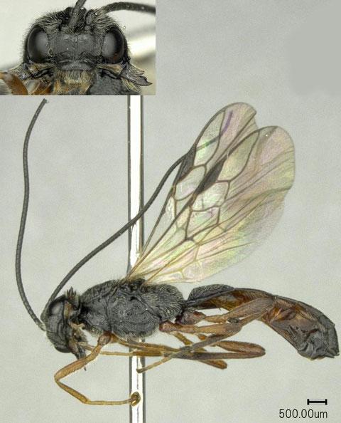 ヨシノメバエコマユバチ Polemochartus nipponensis Maeto, 1983