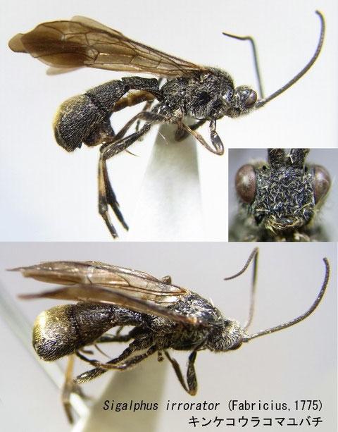 Sigalphus irrorator (Fabricius,1775) キンケコウラコマユバチ