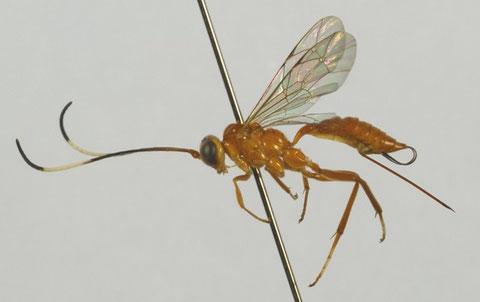 キイロトガリヒメバチ Eurycryptus unicolor (Uchida, 1932)