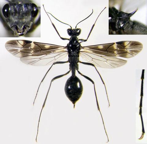 ミズバチ Agriotypus gracilis Waterston, 1930 (♀)