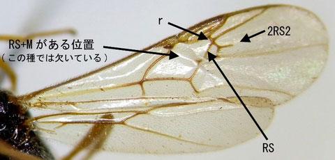 図F, Braunsia antefurcalis Watanabe, 1937 の翅