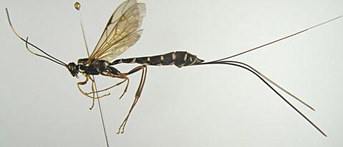 ジョウザンオナガバチ Rhyssa amoena Gravenhorst, 1829