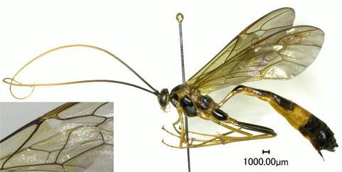 マダラオオアメバチ Stauropoctonus  bombycivorus (Gravenhorst, 1829)