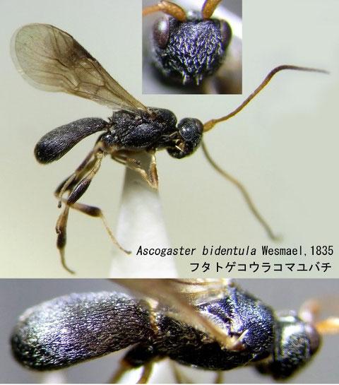 フタトゲコウラコマユバチ Ascogaster bidentula Wesmael,1835