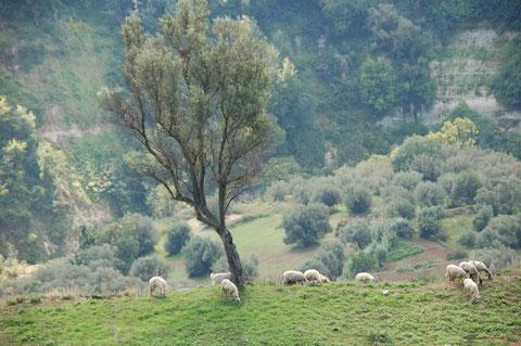 Olivenhaine in Süditalien