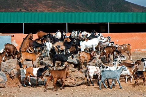 """Ein """"Haufen"""" Ziegen auf Fuerteventura   ©Luftbildfotografie Neuburg"""
