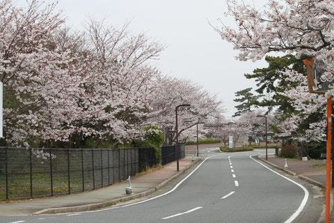 ご覧の通り、道路はとてもきれいでまだ散っていない様子がよく判る