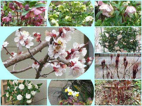 玄関飾りの沈丁花(左下)は貰い物、右の下からシャクナゲ、牡丹、椿