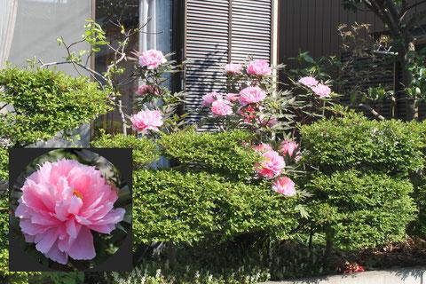花は南を向いているものが多いので、生け垣側から撮影