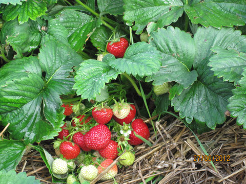 Mit den Erdbeeren startet die Beerensaison