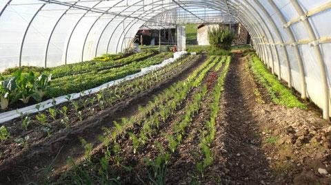 Fenchel Blumenkohl, Broccoli und Rübkohl sin gepflanzt und sind in ein paar Wochen erntereif