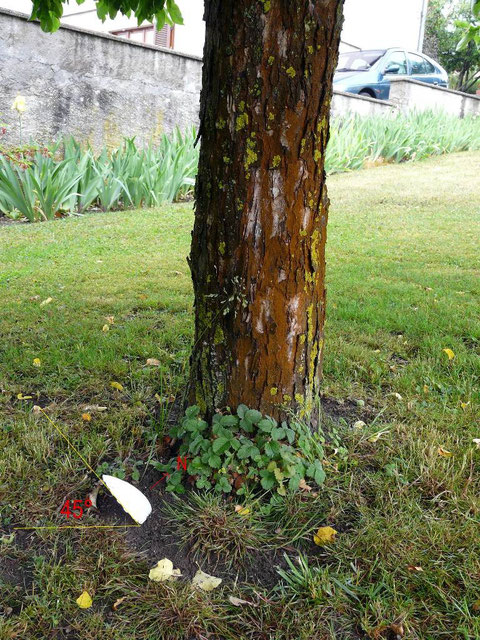 Coquille Saint-Jacques au pied d'un pommier