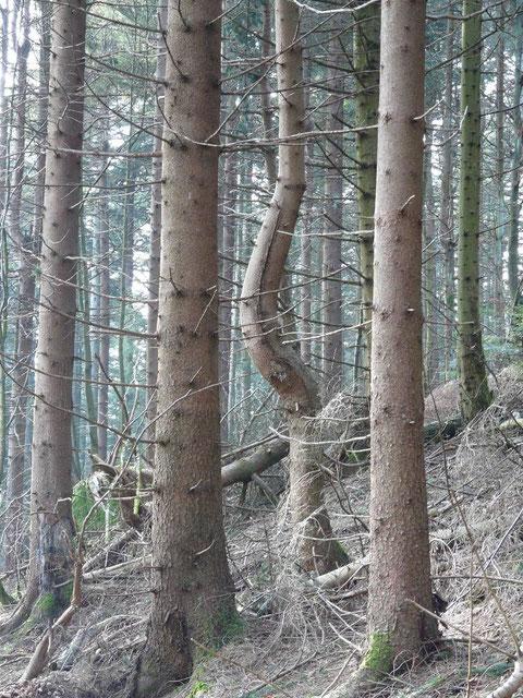 """La déformation du tronc de cet arbre dénote le passage d'une """"cheminée"""" horizontale, phénomène connu en géobiologie."""