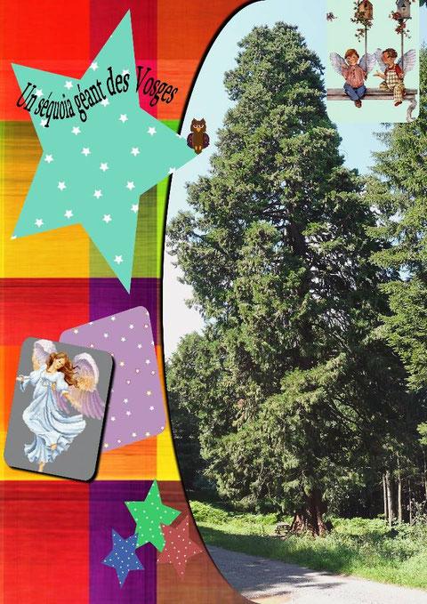 Le séquoïa de LUTZELHOUSE