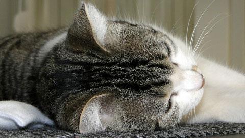 Kurzhaarkatze mit Schnurrhaaren und Tasthaaren in den Ohrmuscheln, an den Wangen & oberhalb der Augen, Hauskatze, Foto: (c) Birgitta
