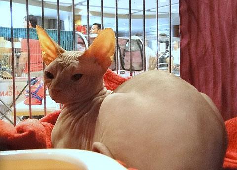 Sphynx-Katze, Katzenshow Valencia, 15./16.09.2012
