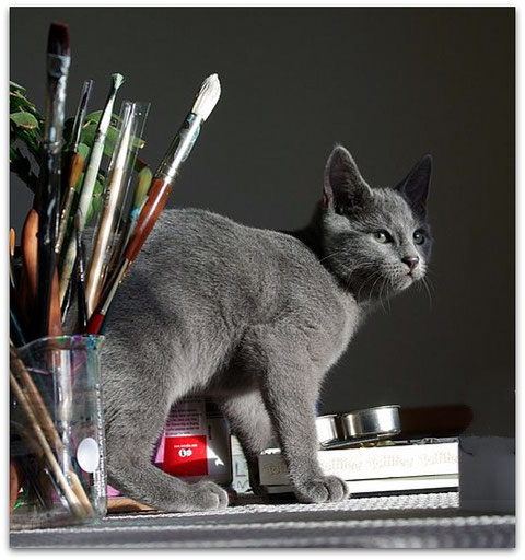 Russisch Blau Katze, Foto: www.milamalgrat.com