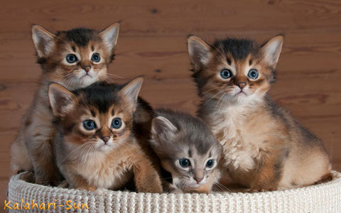 Somali-Katzen, Wurf, blue & wildfarben, Cattery Kalahari-Sun