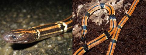 琉球の森に生息するハイ(左)とヒャン(右)、彼らのオレンジ色の体色は何のためにあるのでしょう?