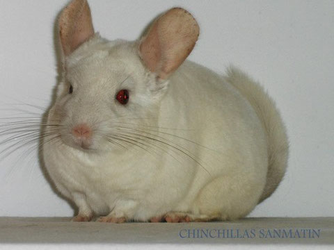 Fuente: Chinchillas San Martin