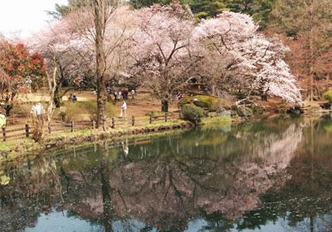 新宿御苑の桜 外国人観光客もわんさか。