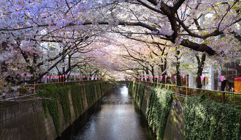 目黒川の桜並木