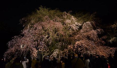 上部の花つきが寂しかった六義園のしだれ桜