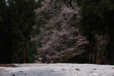 """岡田の桜 杉木立の中 """"神代桜"""" 残雪のなかに咲く"""