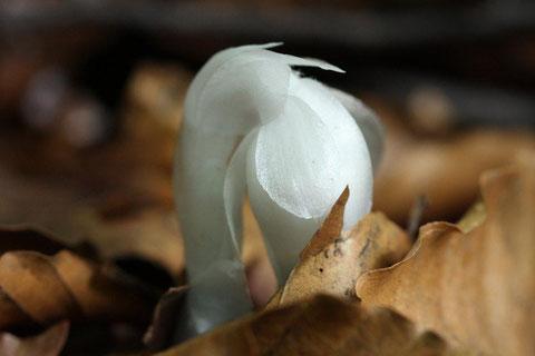 銀竜草 枯葉を退けて初々しく誕生