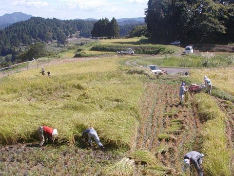 牧区での稲刈り風景です