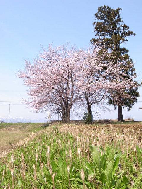 薮野神社:氏神様の御神木桜はツクシと協演 村人の畑仕事も見守る