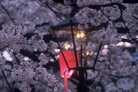 春の宵 ボンボリに桜も赤く染まる