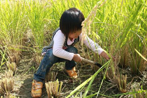 稲刈り体験 H22.9.26 牧区