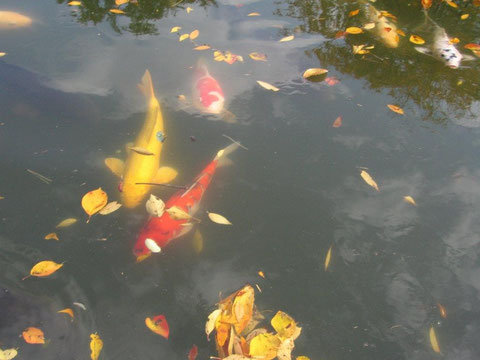 鯉 落ち葉も鯉に負けじと賑やかに(高田公園)