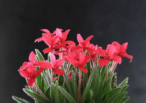 揃い咲き 撮影場所:自宅 軟毛の繊細さと可愛い花のアッツザクラ